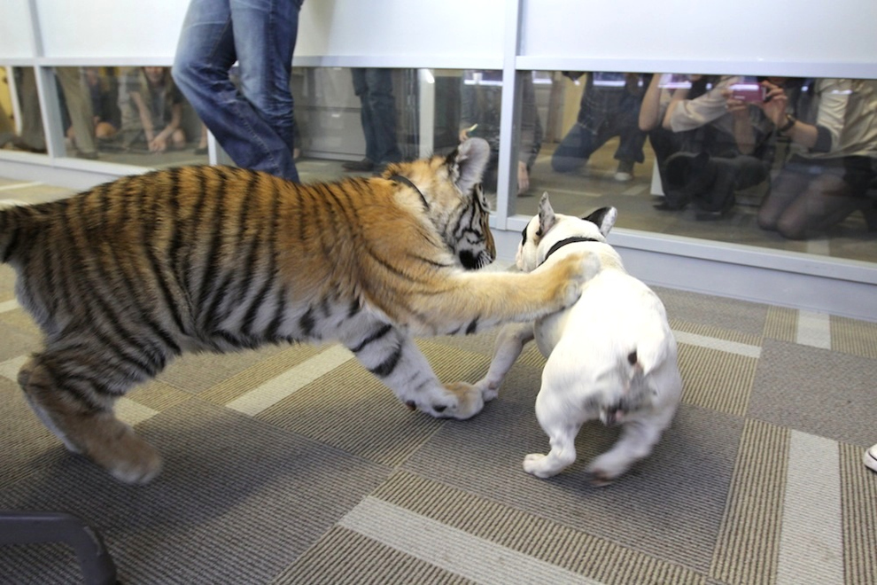Adorable Tiger Cub Plays With French Bulldog 17 Pics