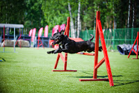 A Staffordshire Bull Terrier jumping over the bar in agility