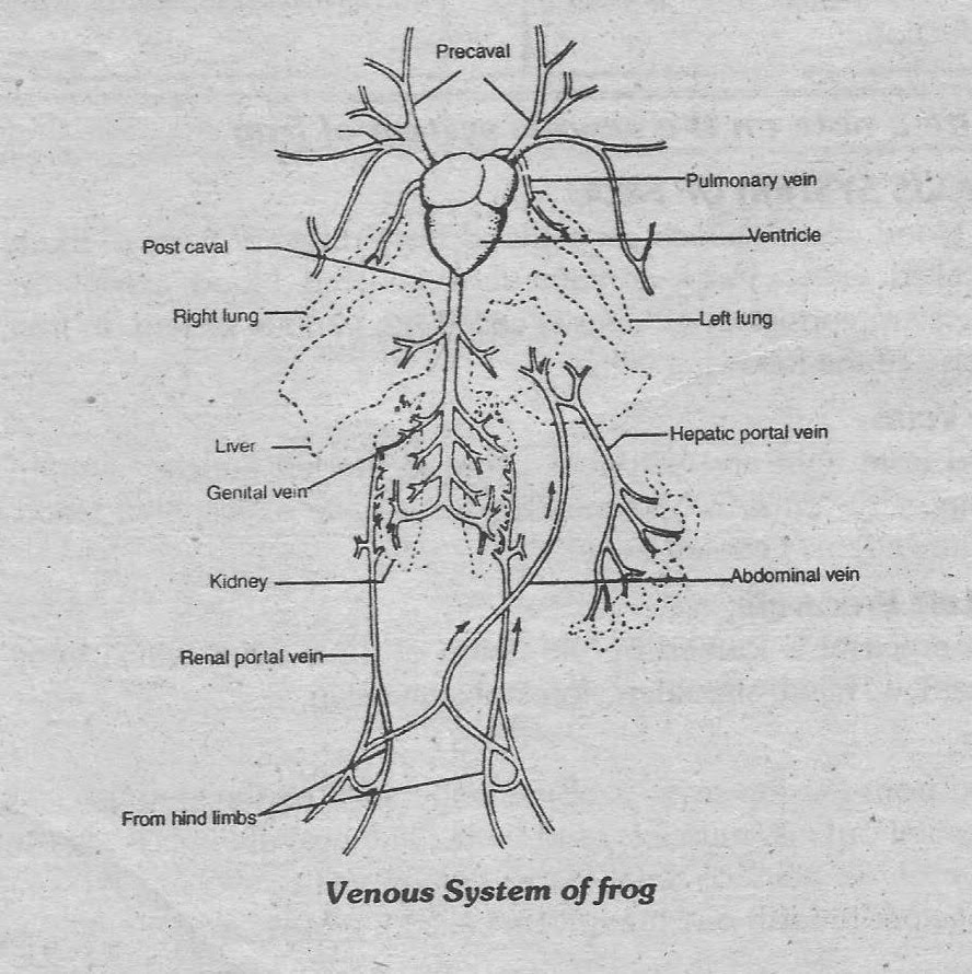 Notes guide book write a note on the venous system of frog the alternate route of blood from the hind limbs is by way of a renal protal vein these veins begin in capillaries in the hind limbs and break up into pooptronica