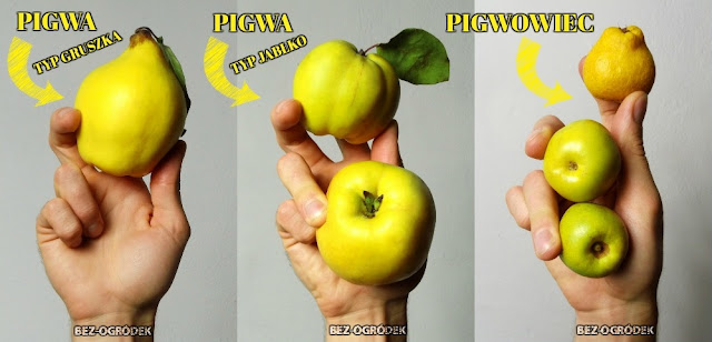 co łączy a co dzieli pigwę i pigwowca