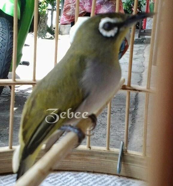 gambar burung pleci jantan - gambar burung