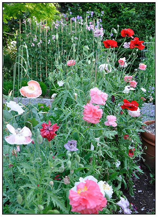 Shirley Poppies carefully staked and forming seed pods.