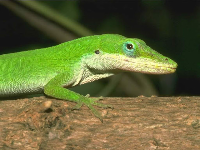 Lizards Wallpapers