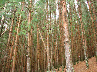 Pine Forests Kodaikanal