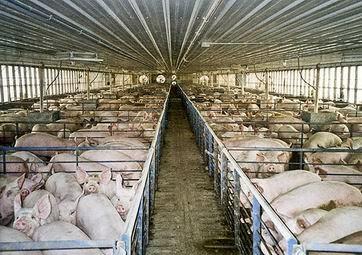 Pig Farming Equipment 2013