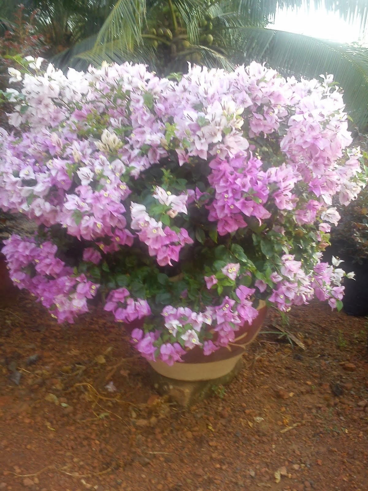 BOUGAINVILLEA MRS EVA