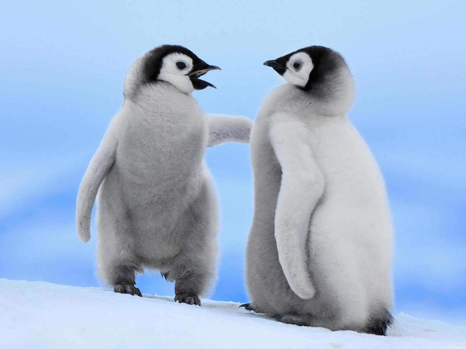 http://1.bp.blogspot.com/-tBSJ9nBZ57g/TsGlbY-xzDI/AAAAAAAAFwQ/STJoJdL2uug/s1600/penguin_wallpaper_01_1600x1200.jpg