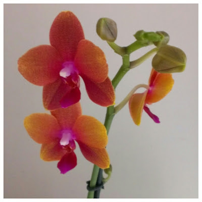 Miss Chaela Boo: June Highlights 2013 - Moth Orchid