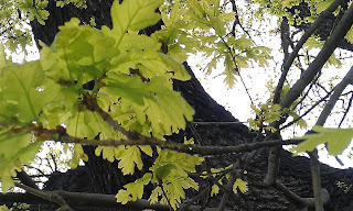 Quercus robur - Oak Tree Brockwell Park Twigs