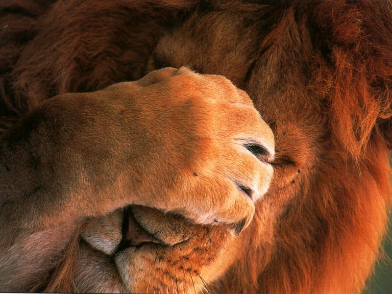 http://1.bp.blogspot.com/-tBwUTsbU0M0/TaxF3voG5-I/AAAAAAAAAeY/c-IxuGYm3gs/s1600/lion_face_palm.jpg