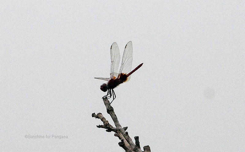 Dragonfly in Gambia