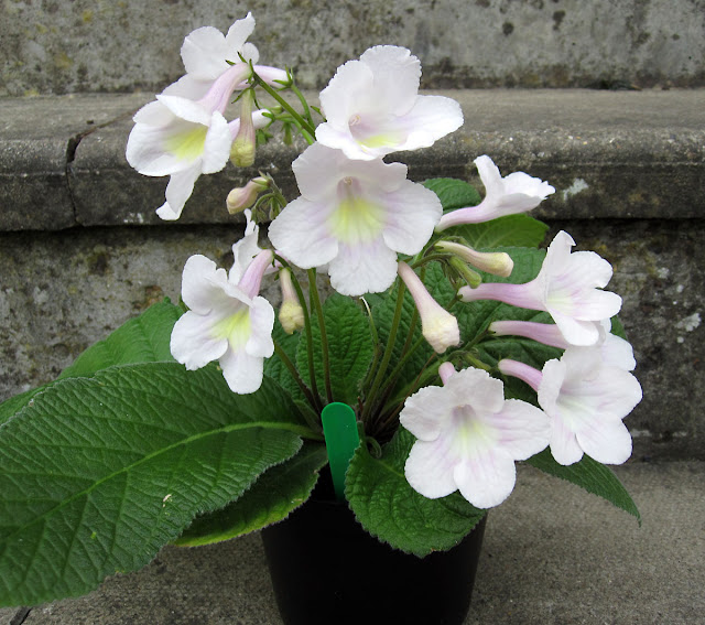 Streptocarpus Bristol's Goose Egg, grown from a starter plant in July 2010.  6 May 2011. This is a scented variety.