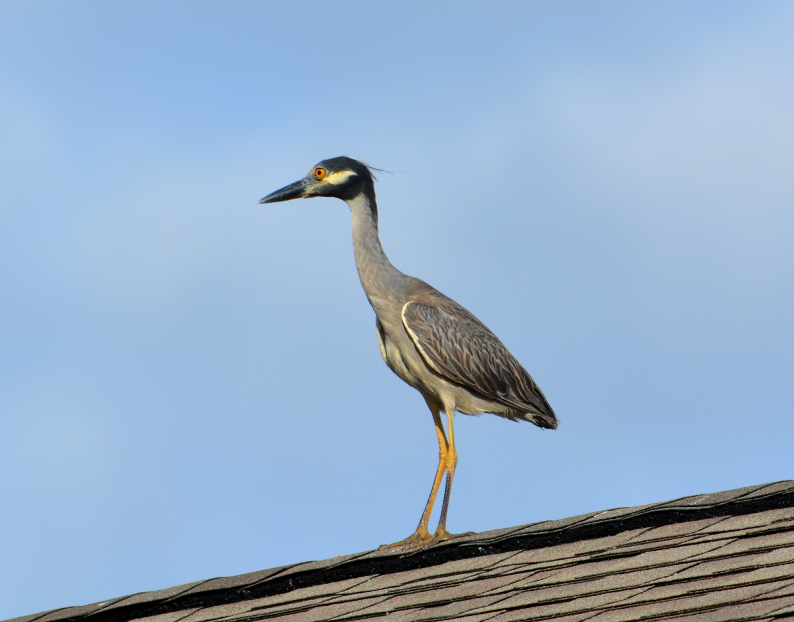 cozy birdhouse | a great blue heron in its natural habitat, on top of a convenience store