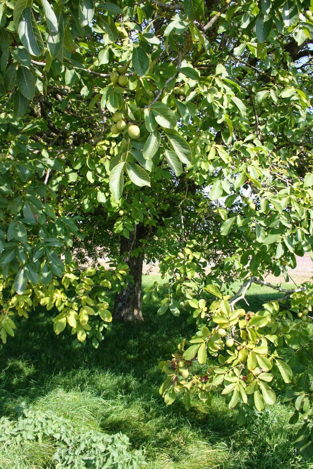 Planter troene good un sapin trne dans le salon o tout est prt with planter troene plantation - Distance plantation arbre maison ...