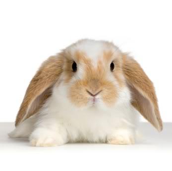 Gambar kelinci yang cantik dan menggemaskan