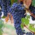 Manfaat buah anggur