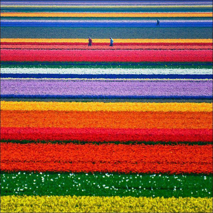Tulip Garden Netherland in May Month