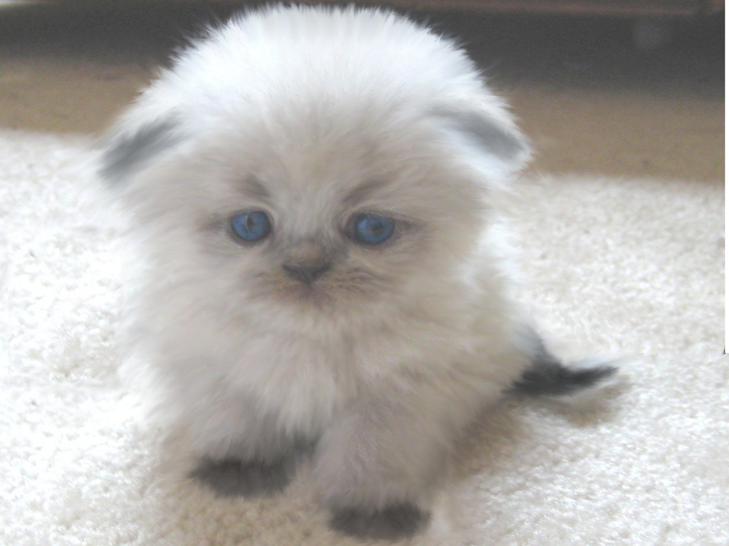 himalayans cat Cats adopted in 2017 ©2015 - persian and himalayan cat rescue - we do not ship cats - we are a non-profit 501-[c]3 corporation.