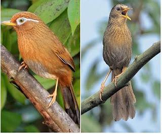 Tips Mudah Untuk  Membedakan Antara Jantan Dan Betian Burung Hwa Mei (Wam Bie) Burung Kicau Bersuara Emas