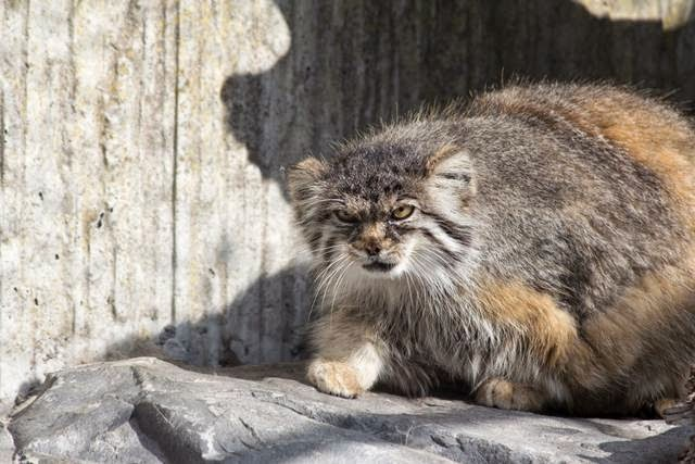 The Manul or Pallas Cat