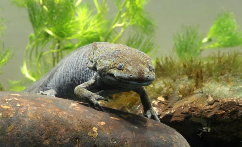 Still Hope: Axolotl, Thought to Be Extinct, Spotted in Mexico City Habitat (Video)