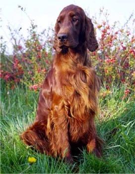 Irish Setter Puppies on Saved By Dogs  Hunting Dogs  Irish Setter