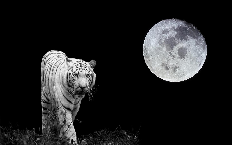 http://1.bp.blogspot.com/-tEGSN_T1P2M/TxVx0-ovP0I/AAAAAAAABuc/sF3l_yyh2ZY/s1600/Tiger-Moon-white-tiger-18272442-1440-900.jpg