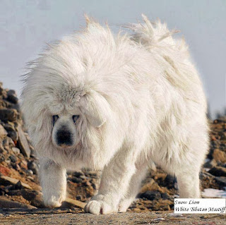 Lion Head, Looks Like Lion, Expensive Dog Breed. Tibetan Mastiff