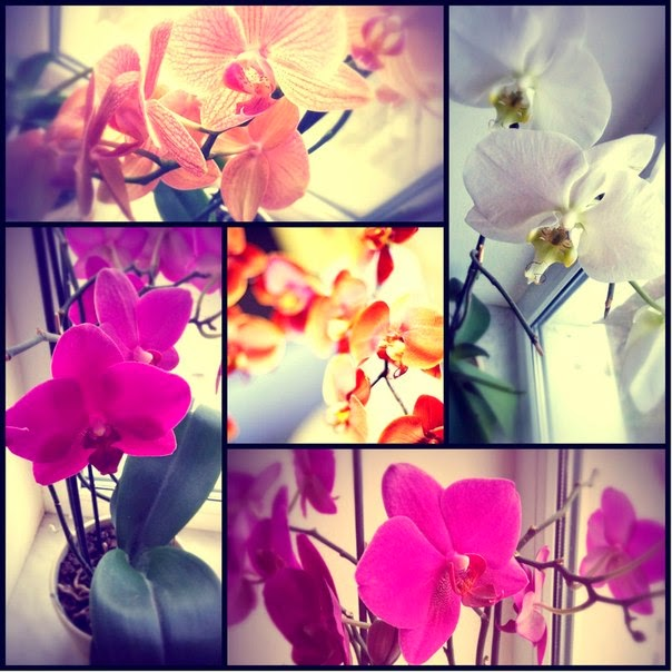 mir orchidej