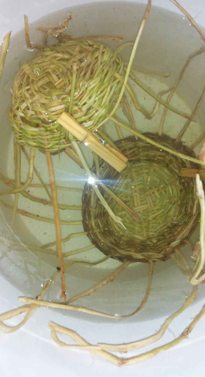 Basket Weaving Plants : Urban weaver studio weaving with invasive plants