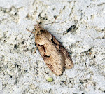 Latest New Micro Moth Species - Semioscopsis steinkelleriana