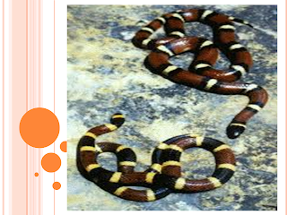 ular karang salah satu hewan yang berbahaya di dunia