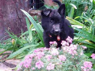 Belgian Shepherd Puppy