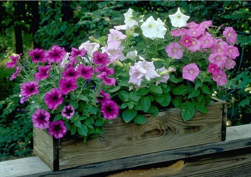Somente flores petunia - Flores para exterior ...