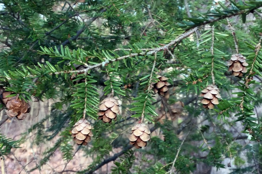 Central Pennsylvania Forestry: Evergreen Native Plants