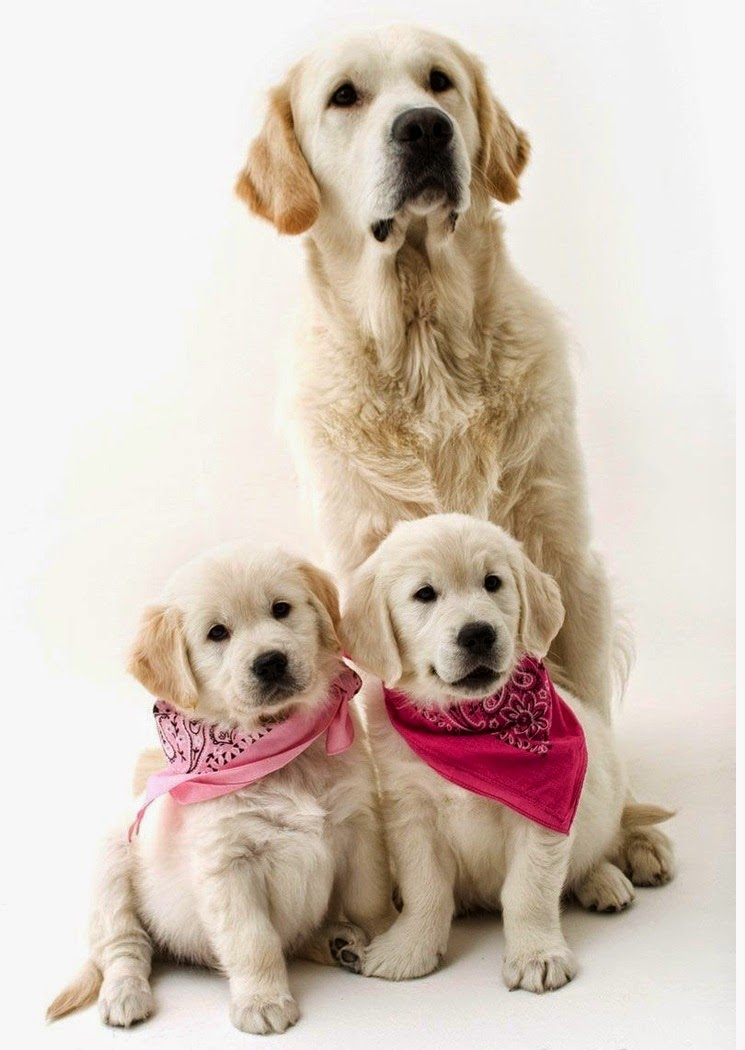 See more White golden retrievers http://cutepuppyanddog.blogspot.com/