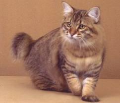 American Bobtail Cat Details -BREEDS