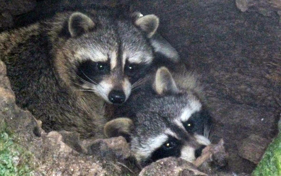 El mapache, una especie invasora