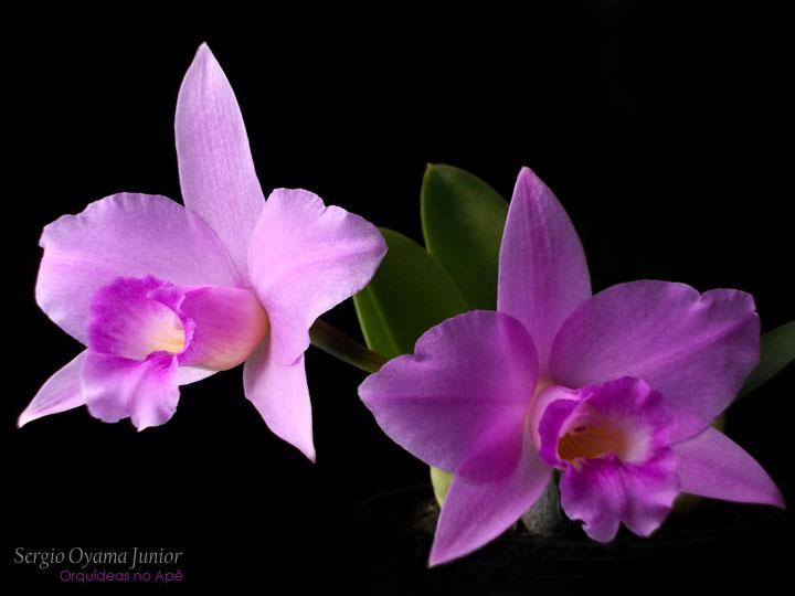 Micro-orquídea Laelia alaorii x Laelia sincorana