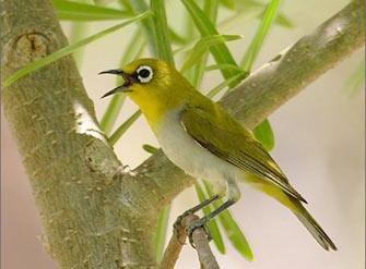 inilah burung kacamata indonesia atau mejiro jepang whi