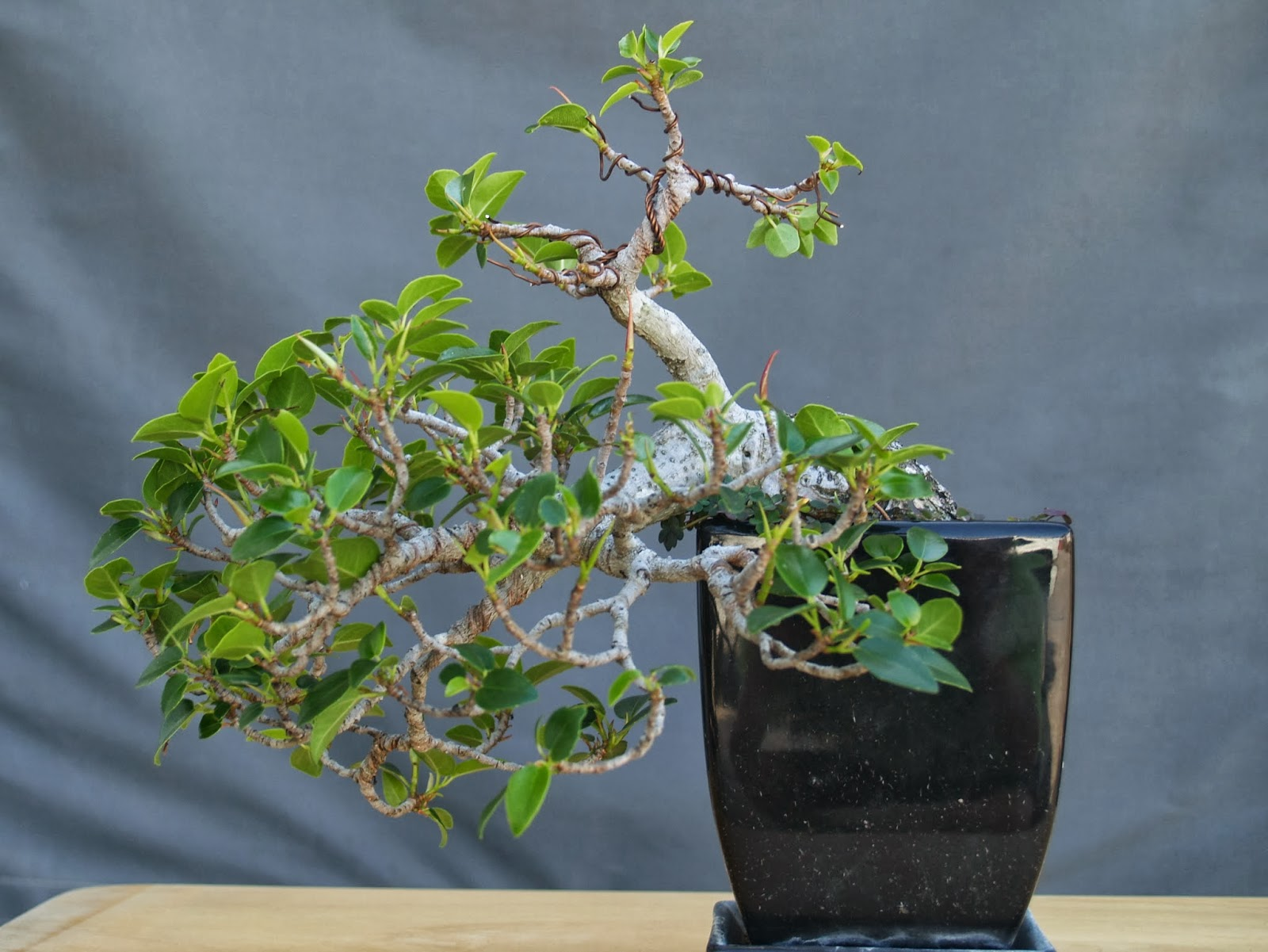 Jon And Eileens39 Travels Bonsai Progression