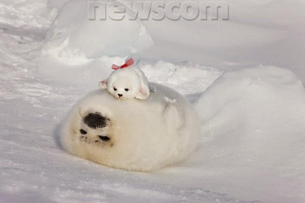 Cute Baby Harp Seal Cute Baby Harp Seals |...