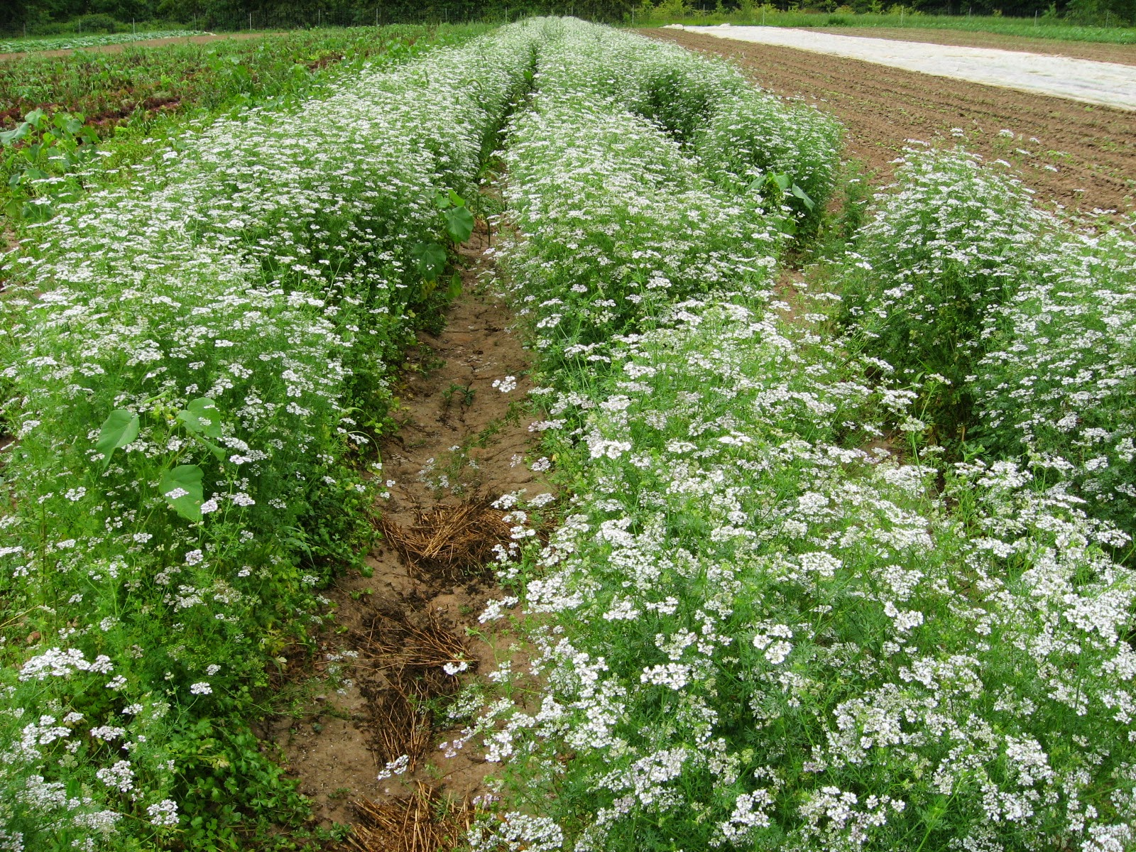 larger field of cilantro in bloom