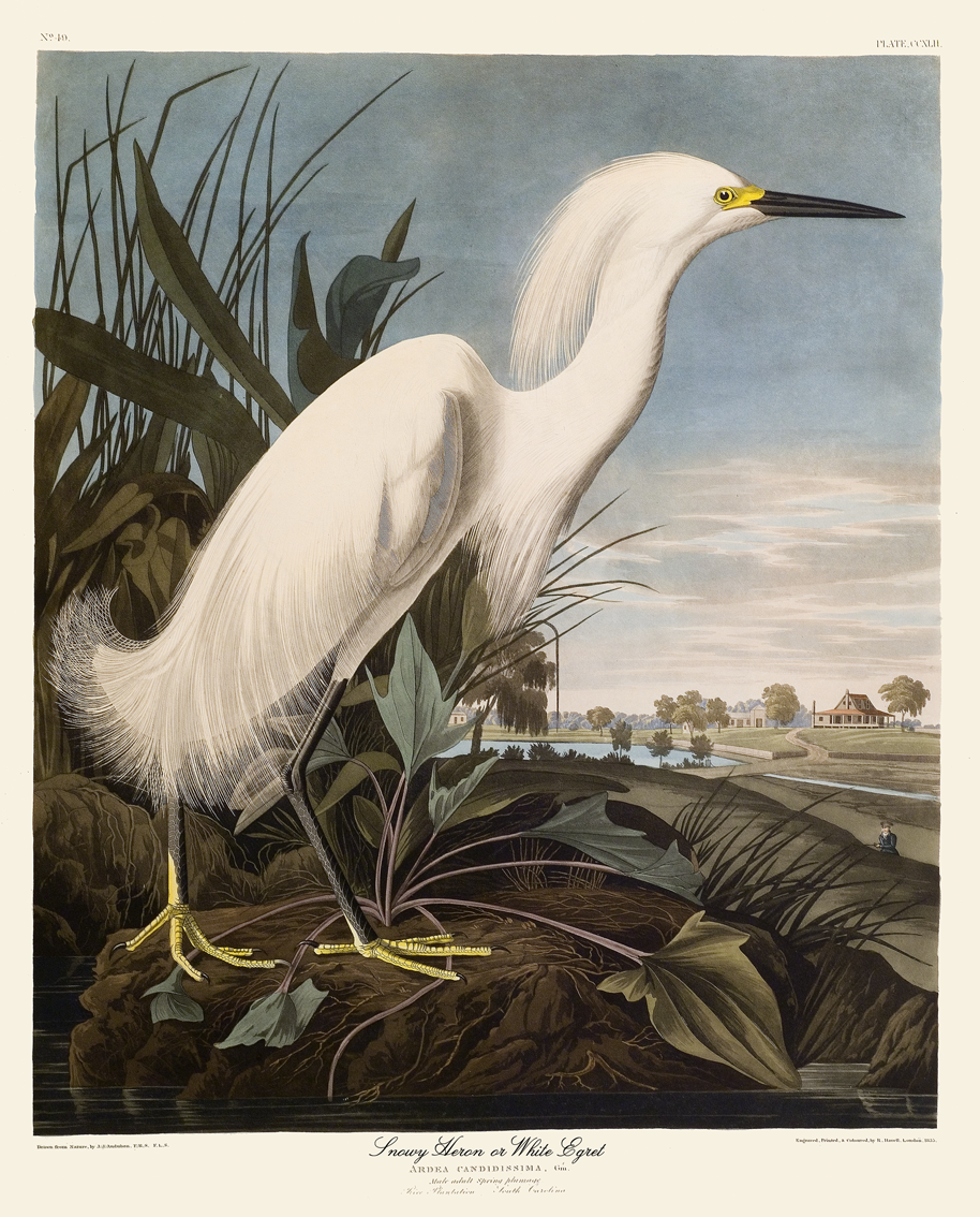 Snowy Heron or White Egret & ART u0026 ARTISTS: Audubon: Birds of America part 7 25forcollege.com