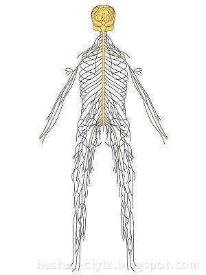 merkezi sinir sistemi, otonom sinir sistemi