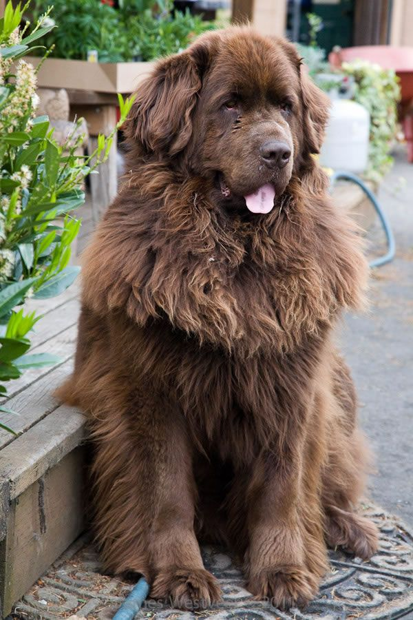 Large Dog Breed Rescue Canada
