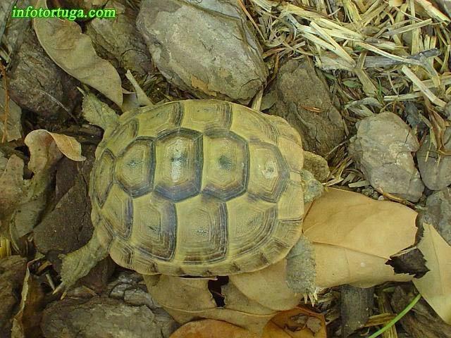 Testudo graeca ibera - Tortuga del Cáucaso
