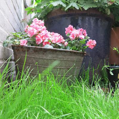 ByHaafner, container garden, grass, pink pelargonium