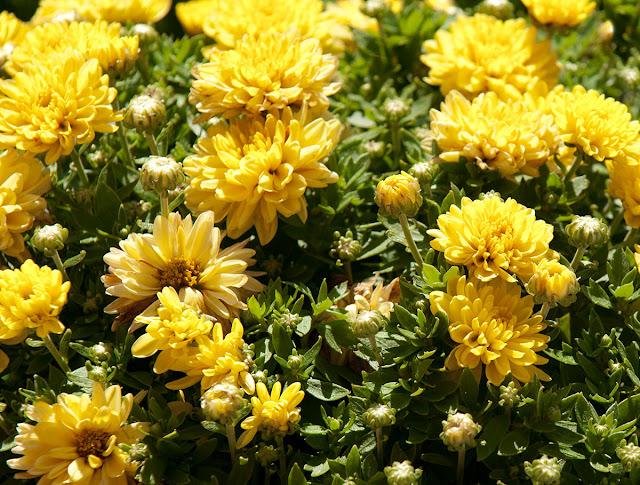 Bright yellow chrysanthemums blooming in garden.