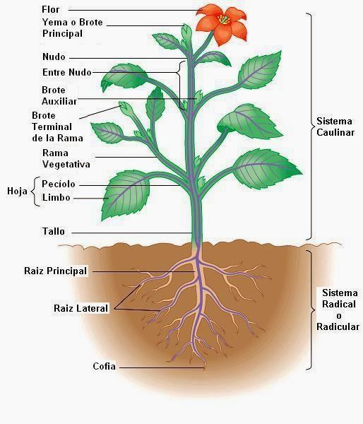 Griselda quispe choquesaca la planta y sus partes for Partes de una griferia de ducha